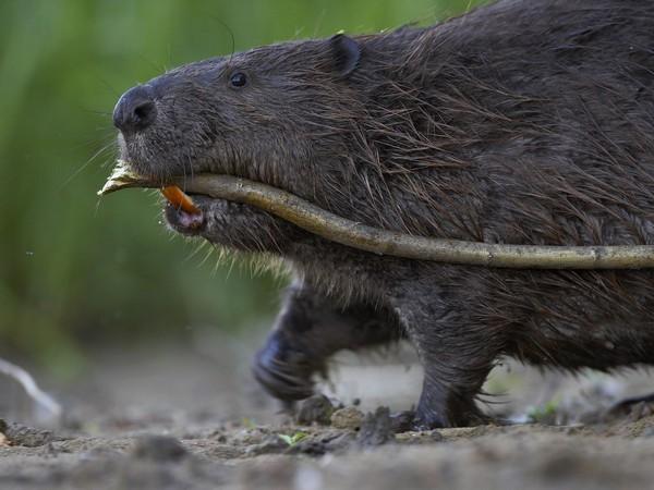 Beaver-watching